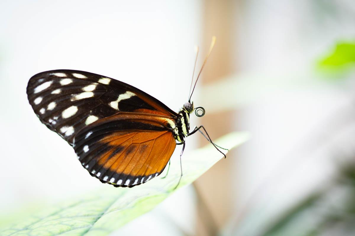 Tropische Schmetterlingsarten
